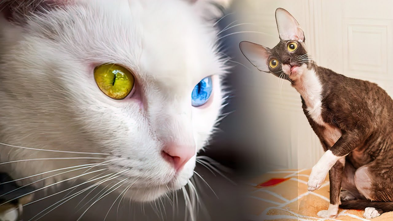The Rarest Cat Breeds In The World Youtube