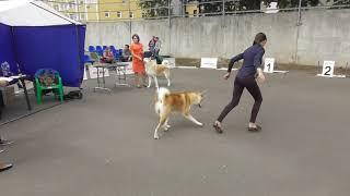 Акита-ину, видео с выставки собак в Великом Новгороде