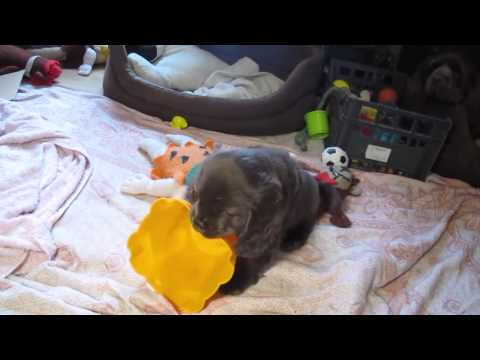 """""""Shelly"""" Sussex Spaniel Puppy Playing"""