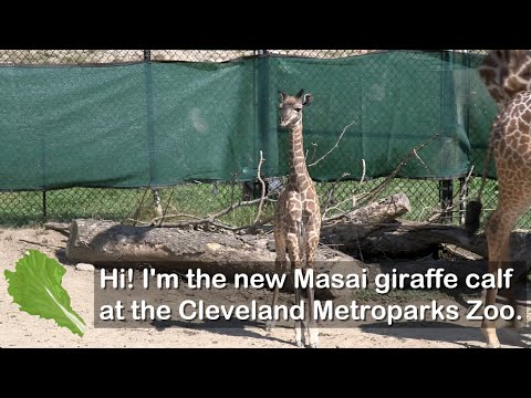 Baby giraffe at Cleveland Metroparks Zoo is one of the biggest calves yet
