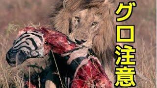 【野生動物の戦い】①ライオンの狩り・シマウマを捕食!内蔵喰いがグロ注...