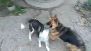Хаски против овчарки #хаскипротивовчарки #драка #ржач #ктосильнее #собаки #игра #батл #новинка #ржач