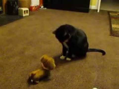 Cat fights with barking Dog.