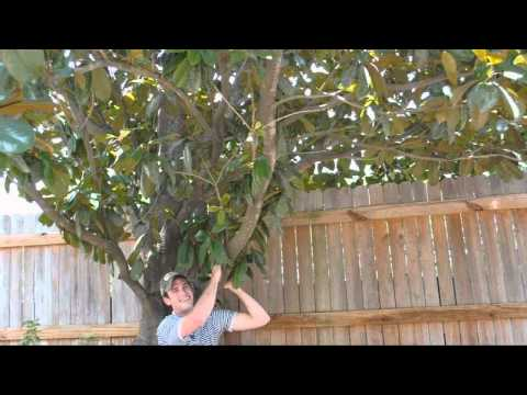 *Southern Magnolia Tree* +Magnolia grandiflora+Big White Flower+