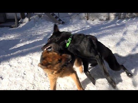 Когда собаки дерутся, что делать Выпуск 3