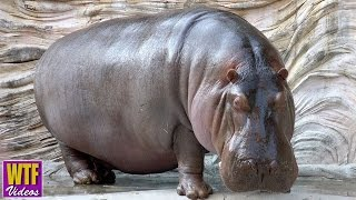 Top 5 Mind-Blowing Facts About Hippopotamus