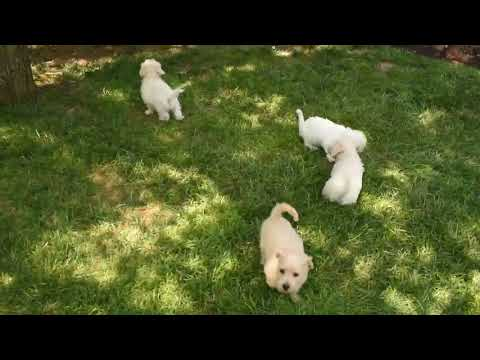 Westie Poo Puppies For Sale Becky Esh