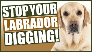 How To Stop Your LABRADOR DIGGING