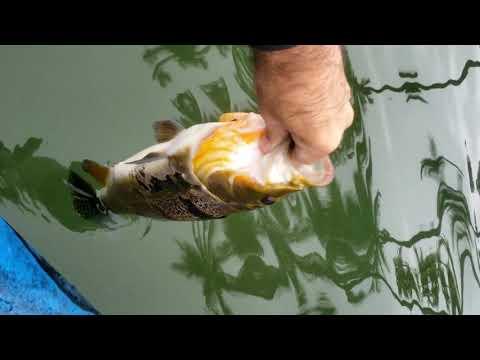 Pescaria De Tucunaré - Lago Paranoá - Estréia Do Caiaque Lontras Pro Fish