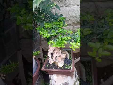 bonsai up stone