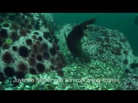 The Case of Stones in Steller Sea Lion Stomachs