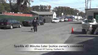 Small Dog Heeling Before/after Video: Leash Training, Northern Virginia