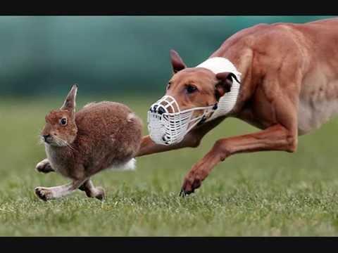 грейхаунд фото собаки