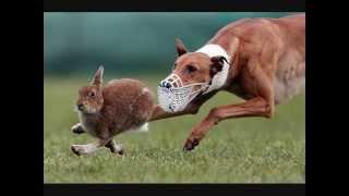 Все породы собак.Грейхаунд (английская борзая) (Greyhound)