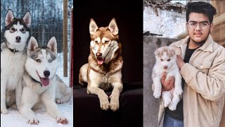 Best Husky Breeder In Ambala || Avtar Dogs Kennel || Very Calm Nature || Female For Booking