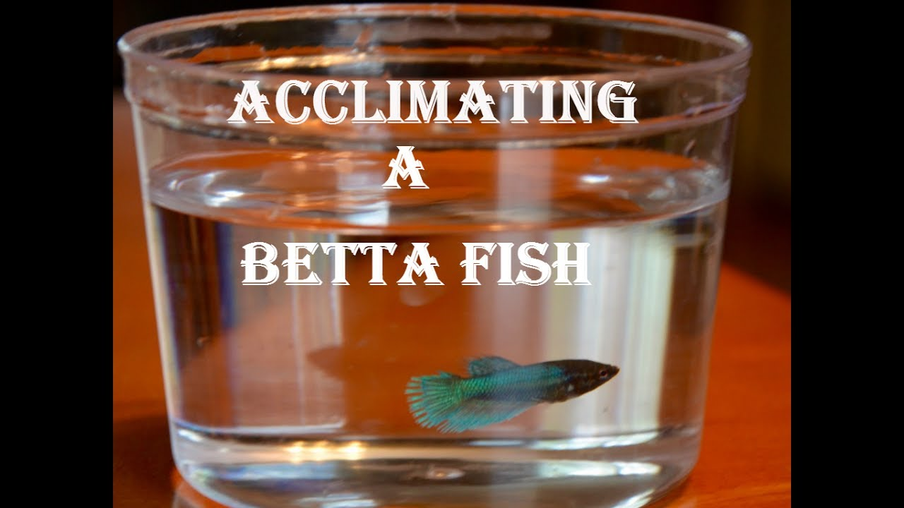How to Add a Betta to a Community Tank forecasting