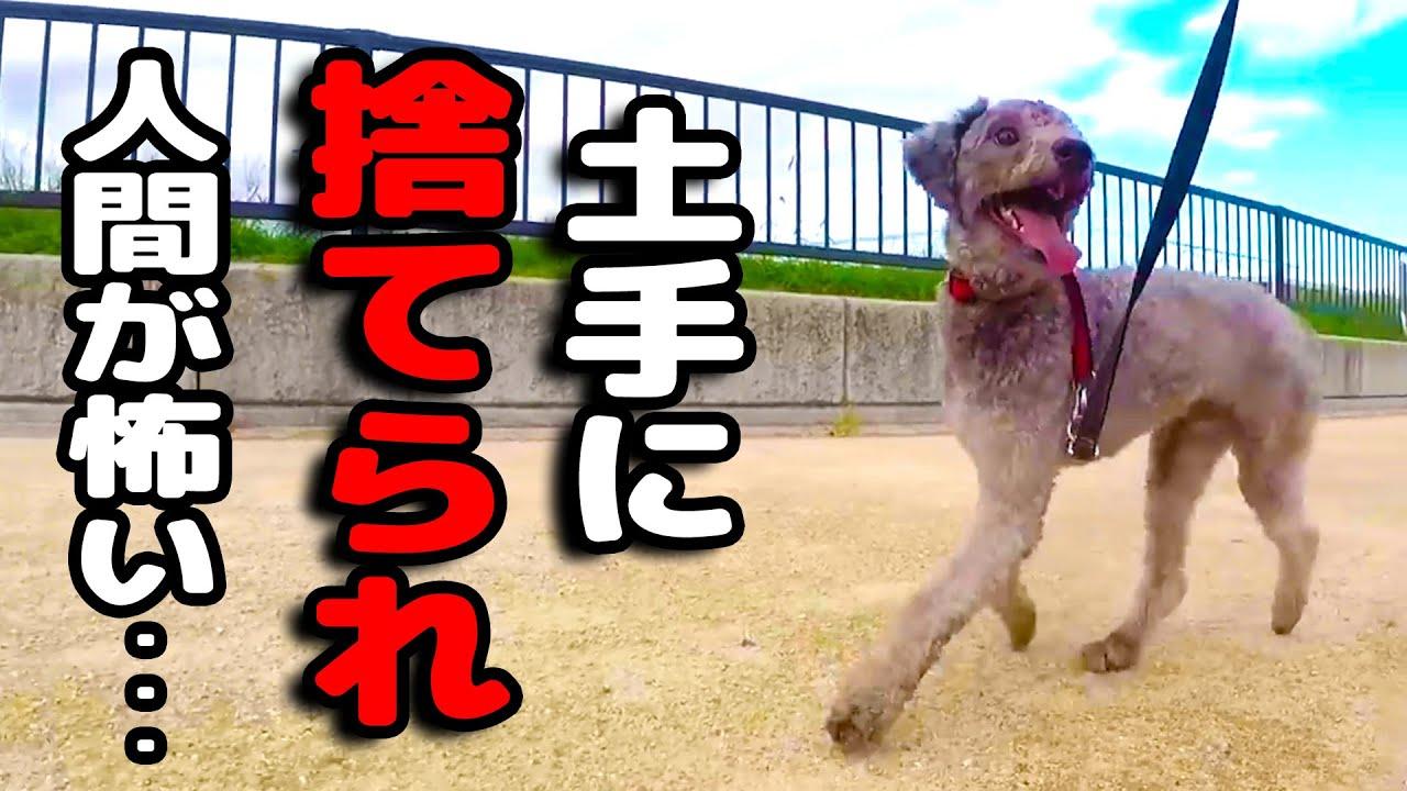 人間がこわくて這いつくばって生きてきた犬が生まれ変わった瞬間・・・ ハスキー犬と保護犬トイプードル