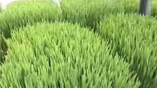 """Сок ростков пшеницы """"Жизнь"""""""