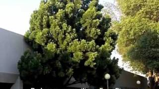 Podocarpus gracilior - Fern Pine
