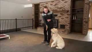 Stella (italian Spinone) Dog Training Video