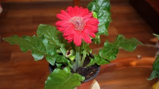 SOS! Комнатные цветы из магазина погибают  Как спасти герберу