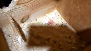 Разведение волнистых попугаев часть-11. Подсчёт птенцов.