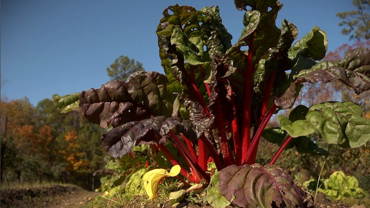 How to Grow and Harvest Chard | At Home With P. Allen Smith - YouTube