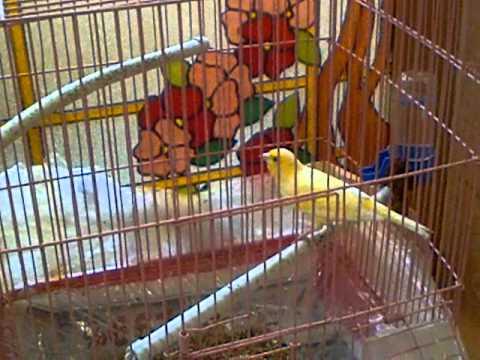 canaries yellow saudi arabia كناري سوري أصفر صافي