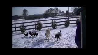 Kangal Livestock Guardian Dogs At Play In The Snow