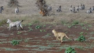 Lion Hunt At Lewa! Zebra Ambush