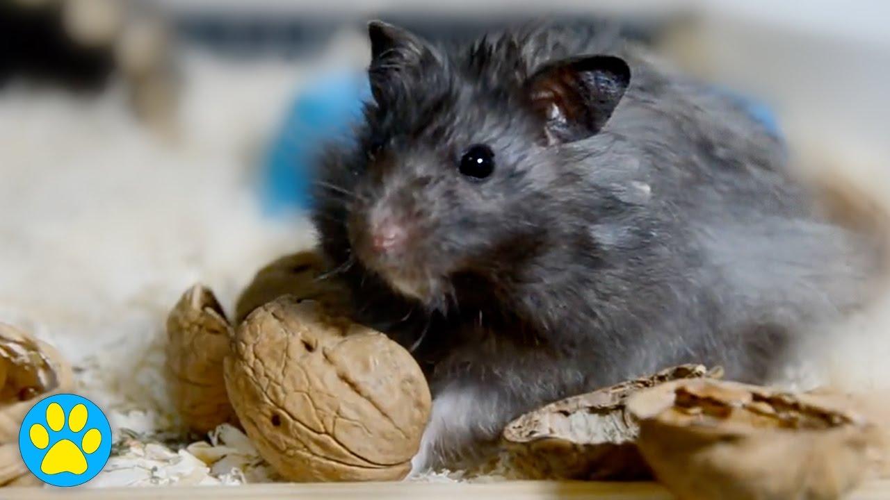Hamster Kom