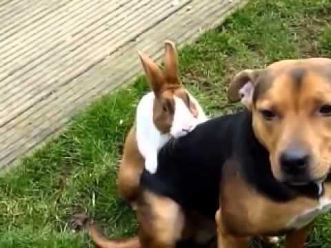 Funny Animalscrazy Rabbit Trying To Hump A Dog