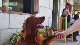 犬は非常に巧みでかわいい動物です。人間がやる多くの行動を簡単に学ぶ...