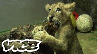 Cute Lion Cubs in South Korea | The Cute Show