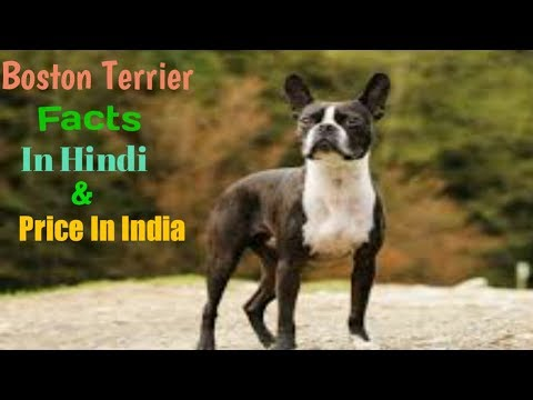 Boston Terrier Facts In Hindi | Boston Terrier Price In India