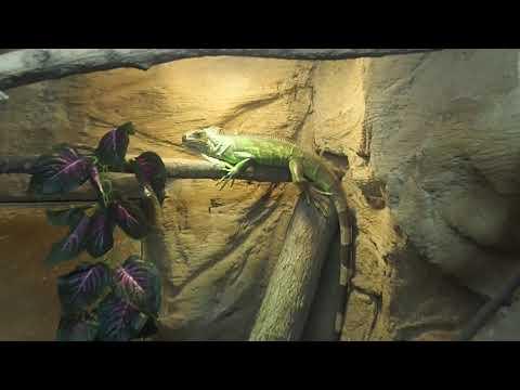 22 Green iguana Emirates Zoo Abu Dhabi 2018