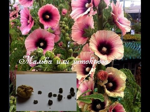 Люпин Уход Размножение Посадка Начинающему цветоводу