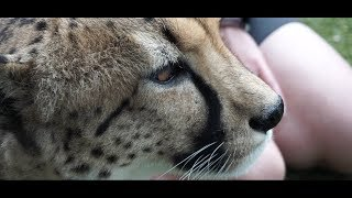 Face to Face with a Cheetah - Vlog9 Steph & Dom's Kiwi Adventure