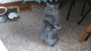 Супер прикол. Кот на задних лапах попрошайничает ( Persian cat )