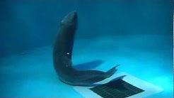 Marinepia-Matsushima aquarium (20110307) Pygmy Sperm Whale