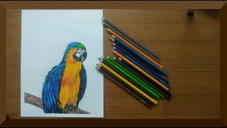 Macaw Parrot drawing with Color Pencils