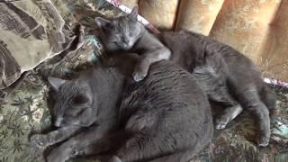 Мои пушистые друзья. Кот Васька и котик Джим.