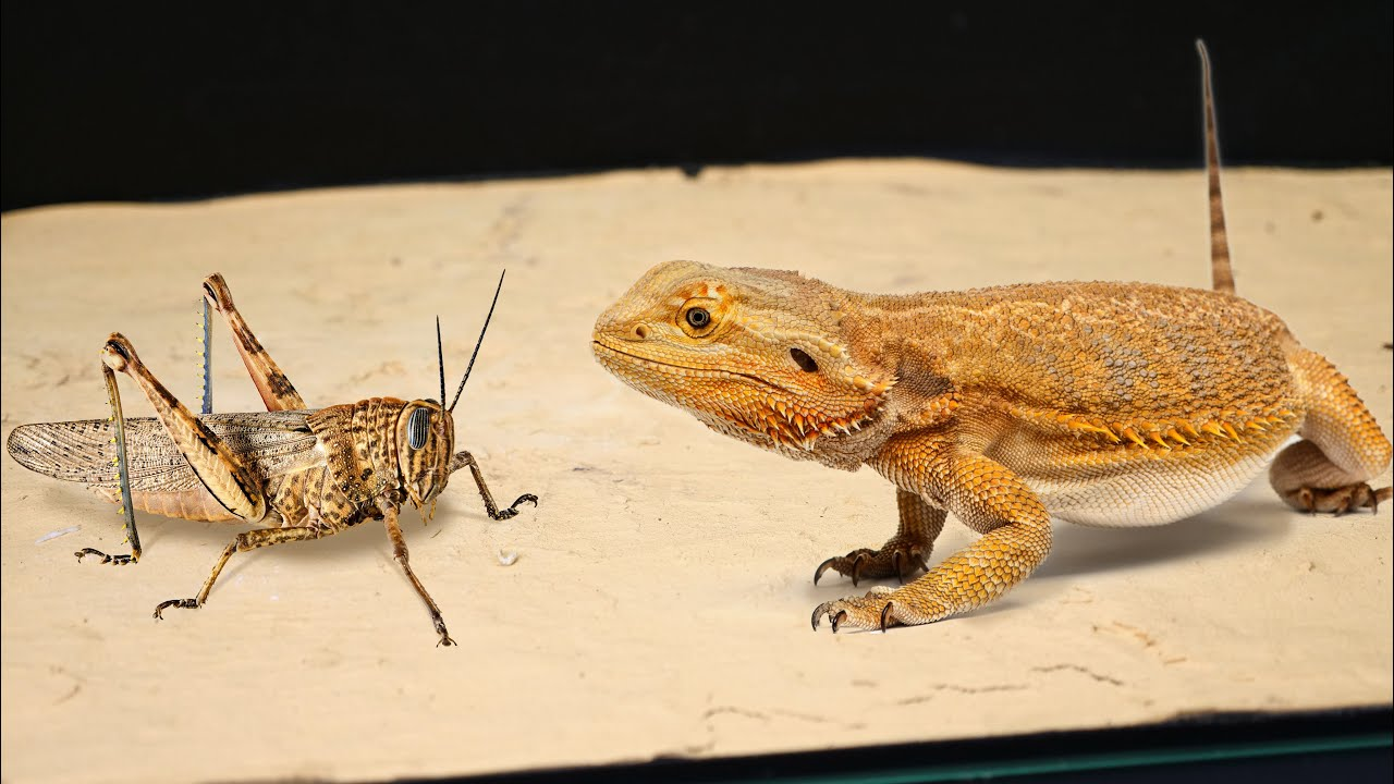WHAT HAPPENS IF THE LIZARD SEES A LARGE LOCUST? BEARDED DRAGON VS LOCUST