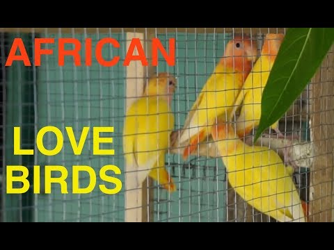 African Love Birds For Sale And An Active Volcano