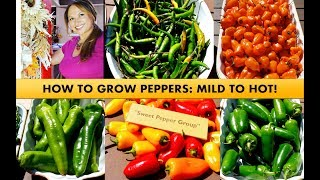 HOW TO GROW PEPPERS STEP BY STEP FOR BEGINNERS
