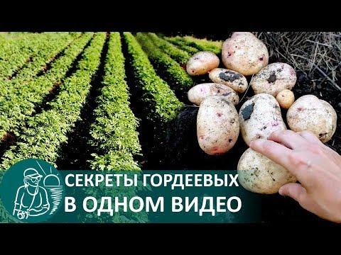 видео: 🍅 Выращивание картофеля по технологии Гордеевых