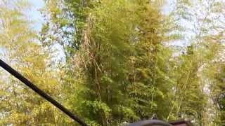 いつまで啼くのかな?竹やぶの中から聞こえる気がしますが、、