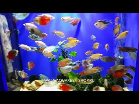 Лабиринтовые рыбки в Аквариф-шоп
