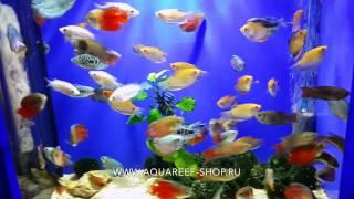 Лабиринтовые рыбки в Аквариф-шоп(Аквариумный магазин Аквариф-шоп предлагает: Лабиринтовые аквариумные рыбки (лялиус, гурами, макропод) в..., 2015-06-09T17:38:10.000Z)