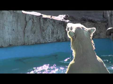 The polar bear twin cubs play in the water at Sapporo Maruyama Zoo, Japan (Jul.21 2013)